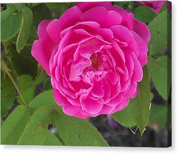Rose Gem Canvas Print by James Rishel
