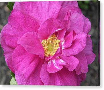 Canvas Print featuring the photograph Rose by Gene Cyr