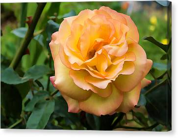 Early Summer Blooms Impressions - Elegant Peach Rose Canvas Print by Georgia Mizuleva