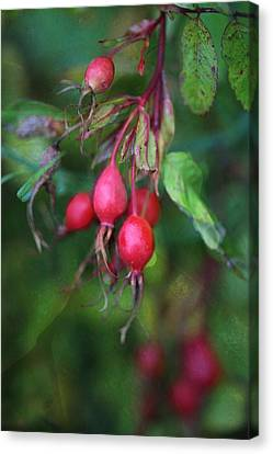 Rose Hips Canvas Print by Shirley Sirois