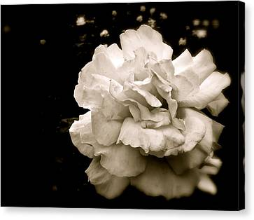 Rose I Canvas Print by Kim Pippinger