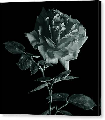 Rose In Monochrome Canvas Print by Vishwanath Bhat