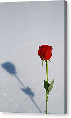 Rose In Snow Spring Approaches Canvas Print by Dan Sproul