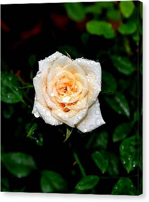 Rose In The Rain Canvas Print by Deena Stoddard