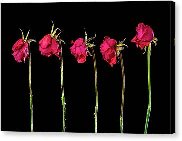 Rose Lineup Canvas Print by Mauro Celotti