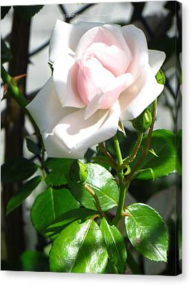 Rose Named Pearl Canvas Print by Sonali Gangane