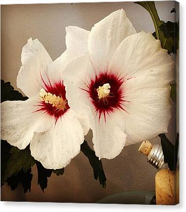 Floral Canvas Print - Rose Of Sharon by Christy Beckwith