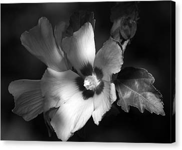 Rose Of Sharon Canvas Print by Donna Kennedy