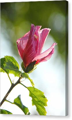 Canvas Print featuring the photograph Rose Of Sharon by Susan D Moody