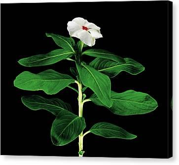 Rose Periwinkle (catharanthus Roseus) Canvas Print by Gilles Mermet