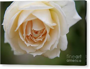 Rose... Pure And Simple  Canvas Print by Lynn England