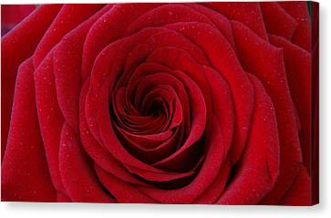 Canvas Print featuring the photograph Rose Red by Shawn Marlow