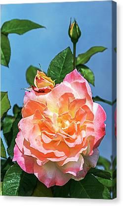 Rose (rosa 'arc De Triomphe') Canvas Print