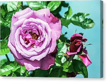 Rose (rosa 'barbra Sterisand') Canvas Print