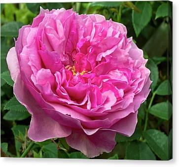 Rose (rosa 'cessa') Flower Canvas Print by Ian Gowland