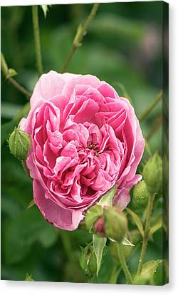 Rose (rosa 'harlow Carr' ) Flower Canvas Print by Adrian Thomas