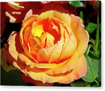 Rose (rosa 'lady Marmalade ') Flower Canvas Print
