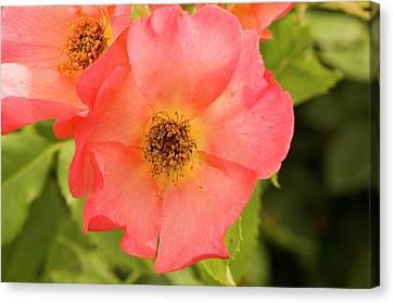 Rose (rosa 'morning Mist') Canvas Print