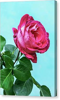 Rose (rosa Sp.) Flower Canvas Print
