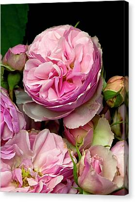 Rose (rosa 'the Enchantress') Flowers Canvas Print by Ian Gowland