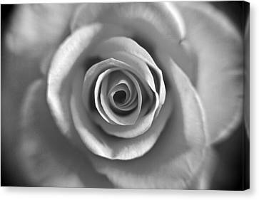 Rose Spiral 4 Canvas Print by Kim Lagerhem