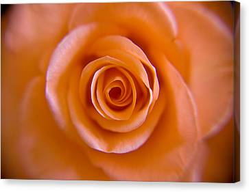 Rose Spiral Canvas Print by Kim Lagerhem
