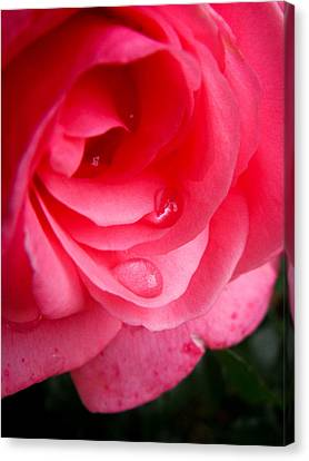 Canvas Print featuring the photograph Rose Teardrop by Dawn Romine