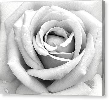 Rose With Tears Canvas Print by Sabrina L Ryan