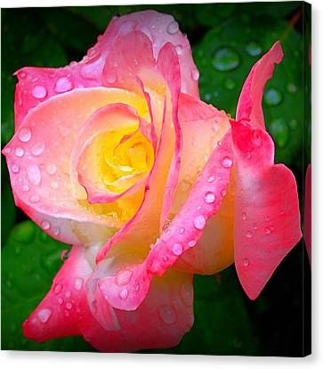 Rose With Water Droplets  Canvas Print by Nick Kloepping