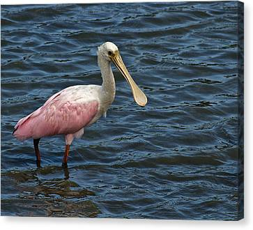 Roseate Spoonbill Canvas Print by Bill Barber