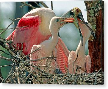 Roseate Spoonbill Feeding Young At Nest Canvas Print by Millard H. Sharp