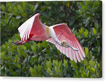 Roseate Spoonbill Flyer Canvas Print