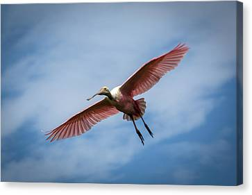 Roseate Spoonbill In Flight Canvas Print by Gregory Daley  PPSA