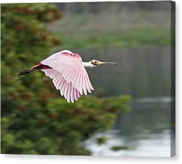 Roseate Spoonbill In Flight Canvas Print by Dawn Currie