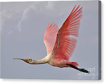 Roseate Spoonbill In Flight Canvas Print by Kathy Baccari