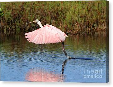 Roseate Spoonbill  Canvas Print by Jennifer Zelik