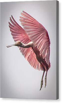 Roseate Spoonbill Landing Canvas Print by Gregory Daley  PPSA