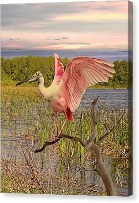 Roseate Spoonbill At Lake St. George Canvas Print by Schwartz