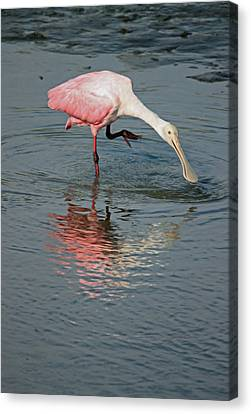 South Carolina Canvas Print - Roseate Spoonbill V by Suzanne Gaff
