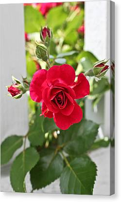 Canvas Print featuring the photograph Roses Are Red by Joann Copeland-Paul