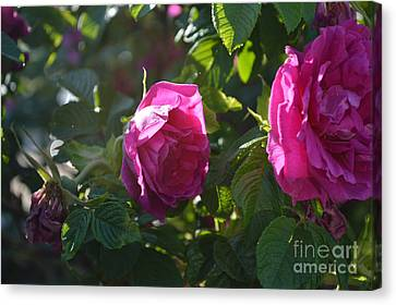 Roses At Sunrise Canvas Print by Alys Caviness-Gober
