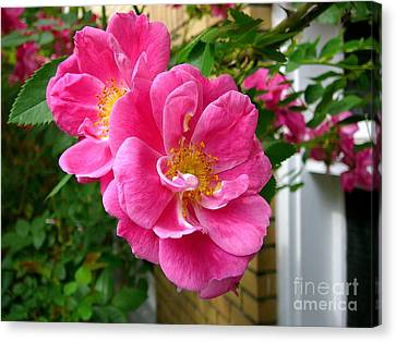 Roses In The Summer Canvas Print by Anne Gordon