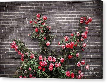 Roses On Brick Wall Canvas Print by Elena Elisseeva
