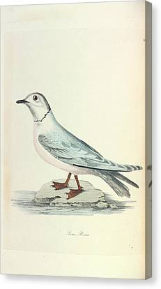 Ross's Gull Canvas Print by Natural History Museum, London