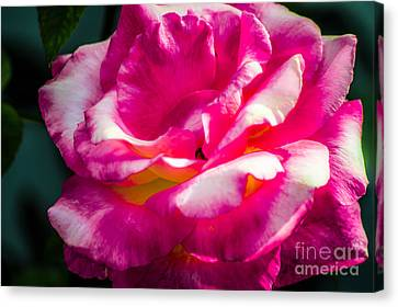 Rosy  Canvas Print by Naomi Burgess