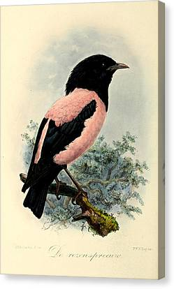 Rosy Starling Canvas Print by Rob Dreyer