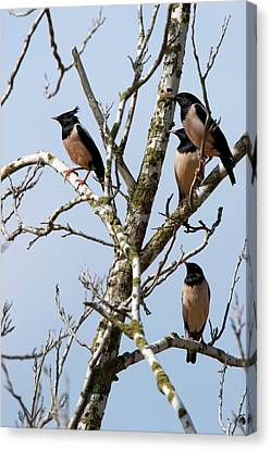 Rosy Starling (sturnus Roseus) Canvas Print by Photostock-israel