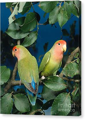 Rosyfaced Lovebirds Canvas Print