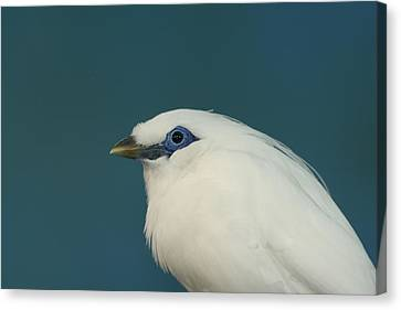 Rothchild Mynah Canvas Print by Larry Trupp