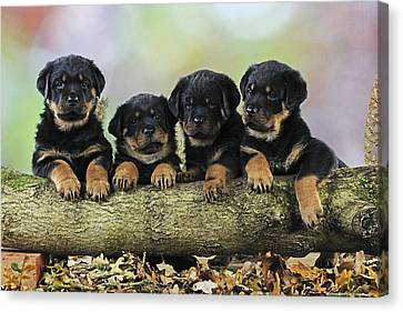 Rottweiler Puppies Canvas Print